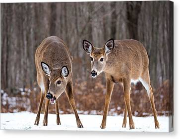 Winter White Tail Deer Canvas Print