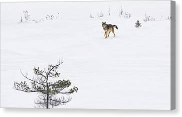 Tracy Munson Canvas Print - Winter Wolf by Tracy Munson