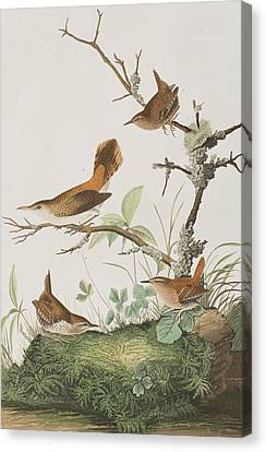 Wren Canvas Print - Winter Wren Or Rock Wren by John James Audubon