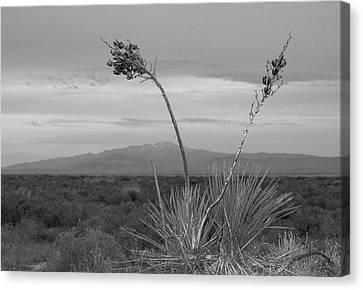 Winter Yucca Canvas Print