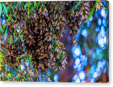Wintering Monarch Butterflies Canvas Print