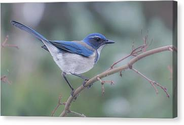 Canvas Print featuring the photograph Wintering Scrub Jay by Angie Vogel