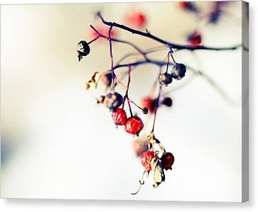 Winter's Berries Canvas Print by Todd Klassy
