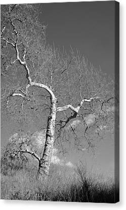 Winter's Ghost Canvas Print