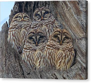 Wintry Barred Owls   Canvas Print by Betsy Knapp