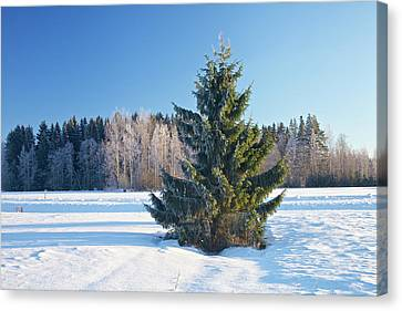 Wintry Fir Tree Canvas Print