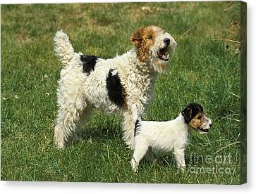 Wire-haired Fox Terrier Canvas Print by Gerard Lacz