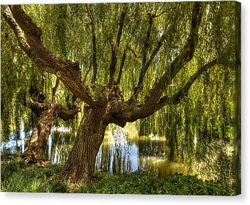 Wisdom Willow Canvas Print by Coby Cooper