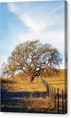 Wise Old Tree Canvas Print by Aron Kearney