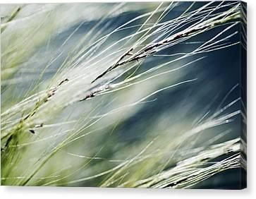 Wispy Grass Canvas Print by Ray Laskowitz - Printscapes
