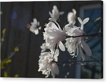 Wipsy Mini Magnolias Canvas Print by Tina M Wenger