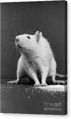 Wistar Rat Canvas Print