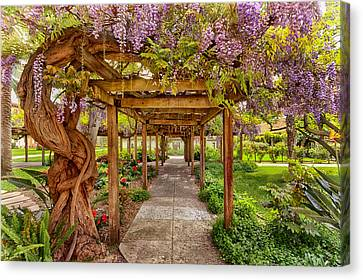 Wisteria In Bloom Canvas Print - Wisteria In Bloom by Susan Rissi Tregoning