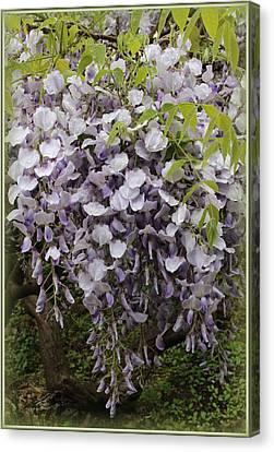 Wisteria In Bloom Canvas Print - Wisteria In Full Bloom by Dora Sofia Caputo Photographic Design and Fine Art