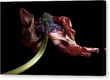 Withering Anemone Canvas Print by Elsa Marie Santoro