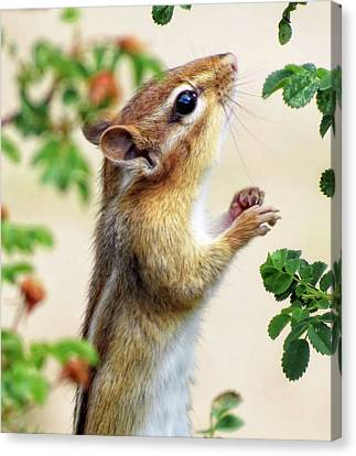 Within Reach - Chipmunk - Cropped Canvas Print