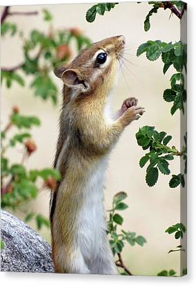 Within Reach - Chipmunk Canvas Print
