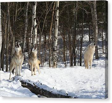 Wolf Choir Canvas Print by Gerry Sibell