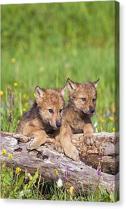 Wolf Cubs On Log Canvas Print by John Pitcher