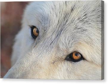 Canvas Print featuring the photograph Wolf Eyes by Carolyn Dalessandro
