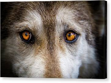 Canvas Print featuring the photograph Wolf Eyes by Teri Virbickis