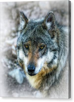 Wolf Gaze Canvas Print by Elaine Malott