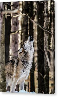 Wolf Howling Canvas Print by Tracy Winter