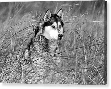 Wolf In The Grass Canvas Print by Kyle Gray
