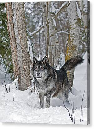 Wolf In Trees Canvas Print