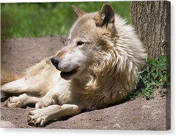 Canvas Print featuring the photograph Wolf by JT Lewis