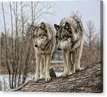 Canvas Print featuring the photograph Wolf Pair by Shari Jardina