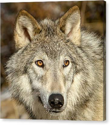 Wolf Portrait Canvas Print by Jack Bell