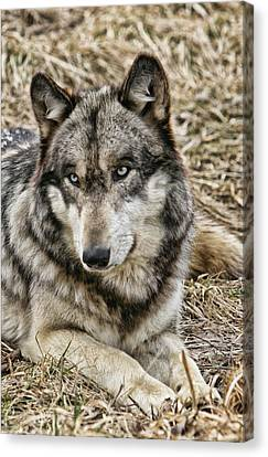 Canvas Print featuring the photograph Wolf Portrait by Shari Jardina