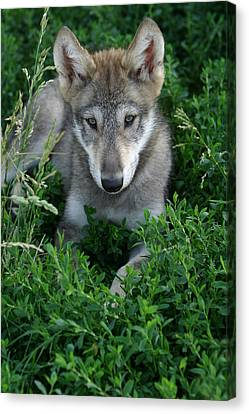 Canvas Print featuring the photograph Wolf Pup Portrait by Shari Jardina