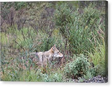 Wolf Stalking Bird Canvas Print by David Wilkinson