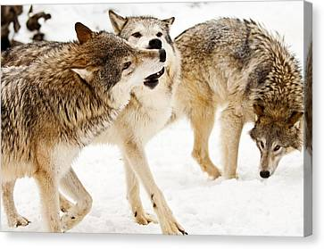 Wolves At Play Canvas Print by Melody Watson