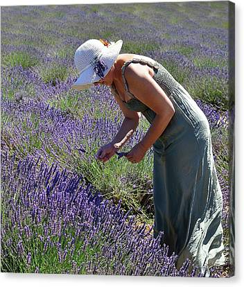 Woman Collects Lavender Canvas Print by Valter Giumetti