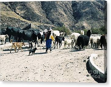 Woman Leading Cattle In Chile Canvas Print by Trude Janssen