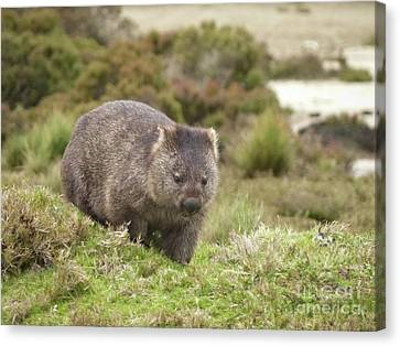 Wombat Tasmania #1 Canvas Print by Teresa A and Preston S Cole Photography