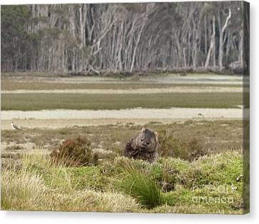 Wombat Tasmania #2 Canvas Print by Teresa A and Preston S Cole Photography