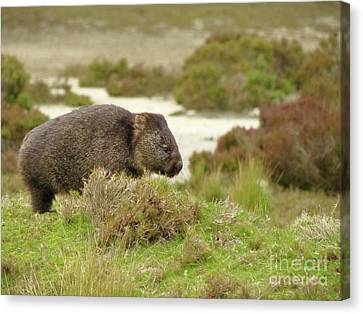 Wombat Tasmania #3 Canvas Print by Teresa A and Preston S Cole Photography