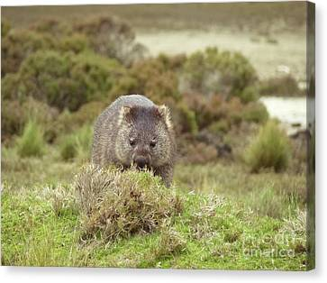 Wombat Tasmania #4 Canvas Print by Teresa A and Preston S Cole Photography