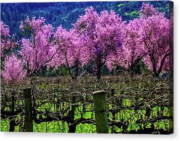 Wonderful Cherry Trees In Vineyards Canvas Print by Garry Gay