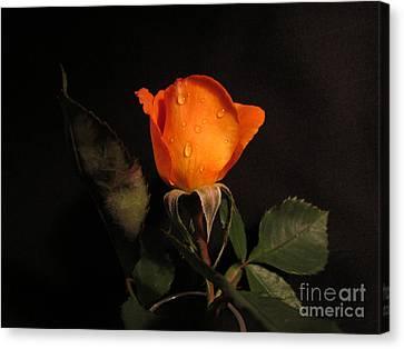 Beautiful  Rose Canvas Print by Joyce Woodhouse