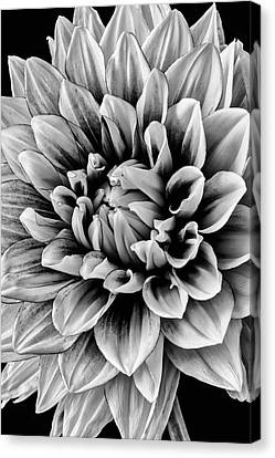 Wonderful Graphic Dahlia Canvas Print