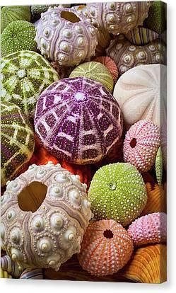 Wonderful Sea Urchins Canvas Print by Garry Gay