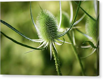 Wonderful Teasel - Canvas Print