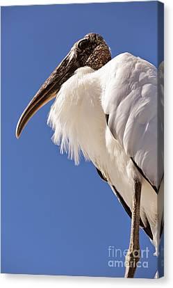Wonderful Wood Stork Canvas Print by Carol Groenen
