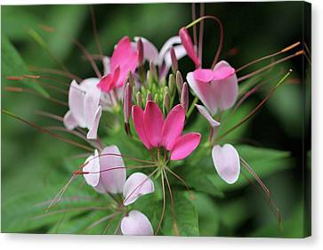 Canvas Print featuring the photograph Wonders Of Cleome by Deborah  Crew-Johnson
