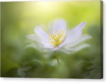 Close Focus Floral Canvas Print - Wood Anemone by Jacky Parker